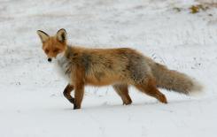 Więcej o: Szczepienie lisów wolno żyjących przeciwko wściekliźnie